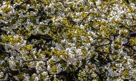 jabłczany okwitnięcia zakończenia drzewo jabłczany cherry tła kwitnącego blisko Japan spring kwiecisty drzewo fotografia stock