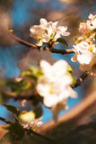 jabłczany okwitnięcia zakończenia drzewo jabłczany Zdjęcia Stock