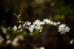 jabłczany okwitnięcia zakończenia drzewo jabłczany Zdjęcia Royalty Free