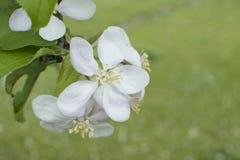 jabłczany okwitnięcia zakończenia drzewo jabłczany Gałąź kwitnie jabłoń na ogródzie Zdjęcia Stock
