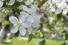 jabłczany okwitnięcia zakończenia drzewo jabłczany Gałąź kwitnie jabłoń na ogródzie Zdjęcie Royalty Free