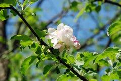 jabłczany okwitnięcie Fotografia Royalty Free