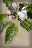 jabłczany okwitnięcie fotografia stock