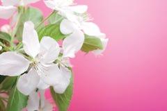 jabłczany okwitnięcie Obraz Stock