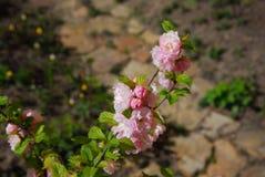 jabłczany okwitnięcie, malus silvestris Zdjęcie Royalty Free