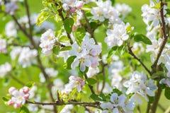 Jabłczany okwitnięcie na drzewie Obraz Stock