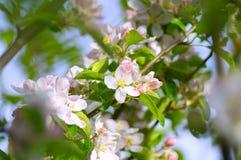 Jabłczany okwitnięcie na niebieskim niebie w wiośnie zdjęcia royalty free