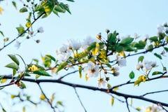 jabłczany okwitnięcie rozgałęzia się przeciw zmierzchowi Obraz Stock