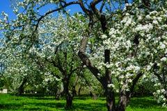 Jabłczany okwitnięcie w ogródzie zdjęcia royalty free