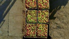 Jabłczany sad, żniwo jabłka, ciągnik niesie wielkich drewnianych pudełka dojrzali czerwieni i zieleni wyśmienicie jabłka pełno, w zbiory