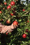Jabłczany sad z czerwonymi dojrzałymi jabłkami Fotografia Royalty Free
