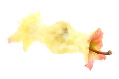 jabłczany sedno Zdjęcia Stock