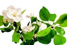 jabłczany target782_0_ gałęziasty drzewo Obraz Stock
