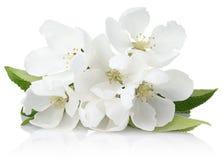 jabłczanych głębii pola kwiatów płytki drzewo Obraz Royalty Free