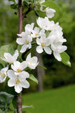 jabłczanych głębii pola kwiatów płytki drzewo Fotografia Royalty Free