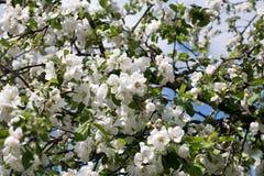jabłczanych głębii pola kwiatów płytki drzewo Obraz Stock