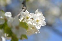 jabłczanych głębii pola kwiatów płytki drzewo Zdjęcie Royalty Free