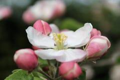 jabłczanych głębii pola kwiatów płytki drzewo Zdjęcia Stock