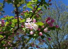 jabłczanych głębii pola kwiatów płytki drzewo Obrazy Stock