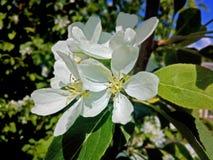jabłczanych głębii pola kwiatów płytki drzewo Zdjęcie Stock