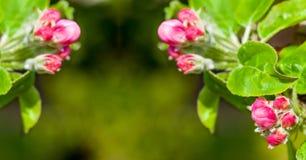 jabłczanych głębii pola kwiatów płytki drzewo kosmos kopii Obrazy Stock