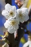jabłczanych głębii pola kwiatów płytki drzewo Tło Zdjęcia Stock