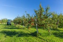 jabłczanych jabłek gałęziasty owoc liść sad Obrazy Stock