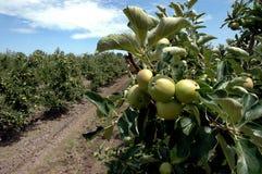 jabłczanych jabłek gałęziasty owoc liść sad Fotografia Stock