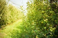 jabłczanych jabłek gałęziasty owoc liść sad zdjęcie royalty free