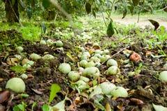 jabłczanych jabłek gałęziasty owoc liść sad Rzędy drzewa i owoc ziemia pod drzewami Zdjęcie Stock