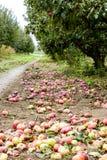 jabłczanych jabłek gałęziasty owoc liść sad Rzędy drzewa i owoc ziemia pod drzewami Obrazy Stock
