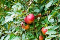 jabłczanych jabłek gałęziasty owoc liść sad Rzędy drzewa i owoc ziemia pod drzewami Obraz Stock