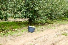 jabłczanych jabłek gałęziasty owoc liść sad Rzędy drzewa i owoc ziemia pod drzewami Fotografia Royalty Free