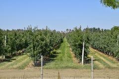 jabłczanych jabłek gałęziasty owoc liść sad Rzędy drzewa i owoc ziemia pod t Zdjęcie Royalty Free