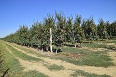 jabłczanych jabłek gałęziasty owoc liść sad Rzędy drzewa i owoc ziemia pod t Fotografia Stock