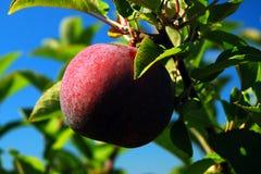 jabłczanych jabłek zielony drabinowy sadu wyboru sezon drabinowy drewniany Zdjęcie Royalty Free