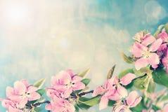 jabłczanych kwiatu okwitnięć gałęziasty wiosna drzewo Fotografia Stock