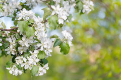 jabłczanych kwiatu okwitnięć gałęziasty wiosna drzewo Zdjęcie Stock