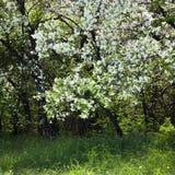 jabłczanych kwiatu okwitnięć gałęziasty wiosna drzewo Obrazy Stock