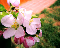 jabłczanych kwiatu okwitnięć gałęziasty wiosna drzewo Obrazy Royalty Free