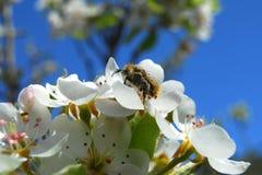 jabłczanych kwiatu okwitnięć gałęziasty wiosna drzewo Obraz Royalty Free