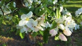 jabłczanych kwiatu okwitnięć gałęziasty wiosna drzewo Zdjęcia Royalty Free