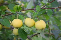 jabłek gałąź trzy kolor żółty Zdjęcie Royalty Free