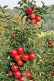 jabłek sadu czerwień Zdjęcie Royalty Free