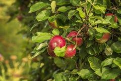 jabłek tła czerwieni płycizny drzewo Obraz Stock