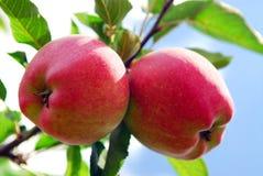 jabłka obraz stock