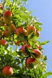 jabłka drzewni zdjęcia stock