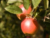 jabłka Fuji czerwień Zdjęcie Royalty Free