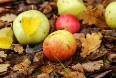 Jabłka kłamstwo na ziemi obrazy royalty free