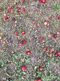 jabłka mielone zdjęcie stock